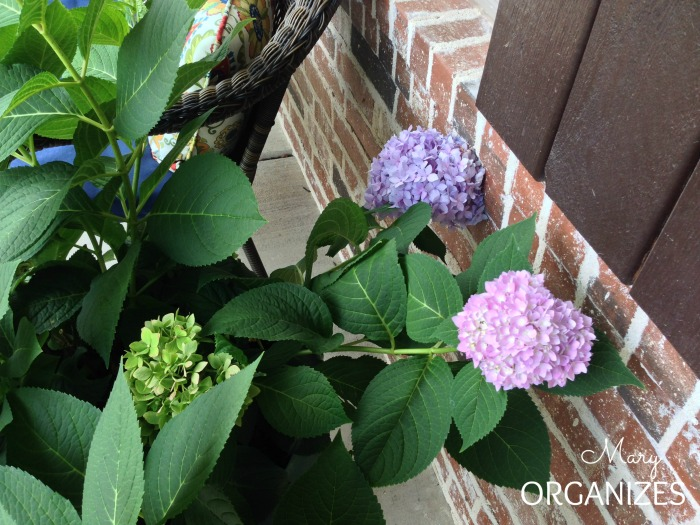 Container Hydrangeas - add acidifier to the soil to get color variation